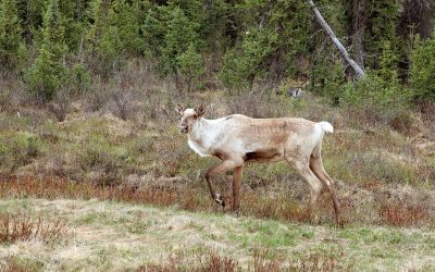 Mort d'un caribou de la harde de Val-d'Or