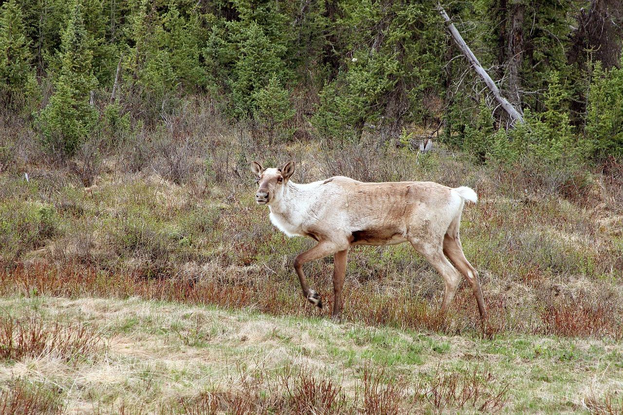 caribou-1116307_1280
