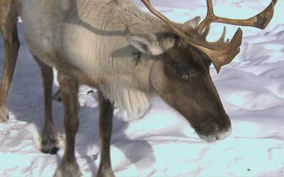 Le MFFP va mettre les caribous de Val-d'Or en enclos
