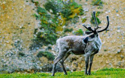 Québec ne prend pas les bonnes mesures pour conserver la harde de caribous de Val-d'Or