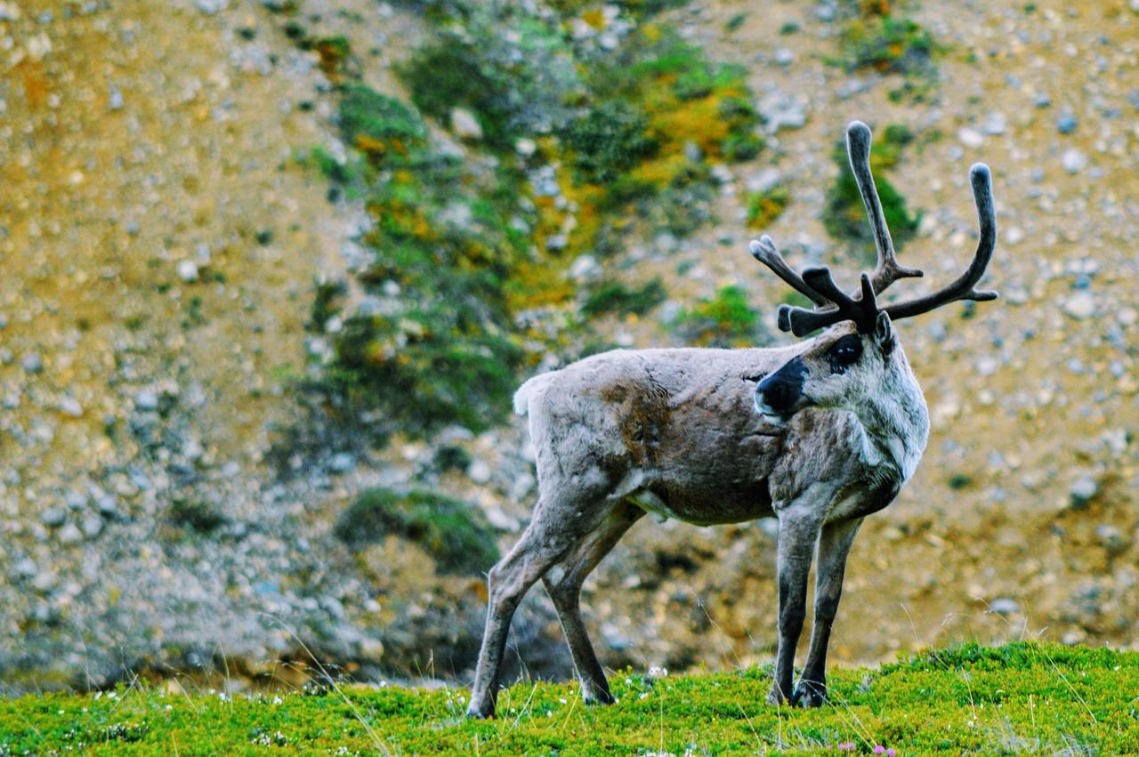 caribou-3545301_1280