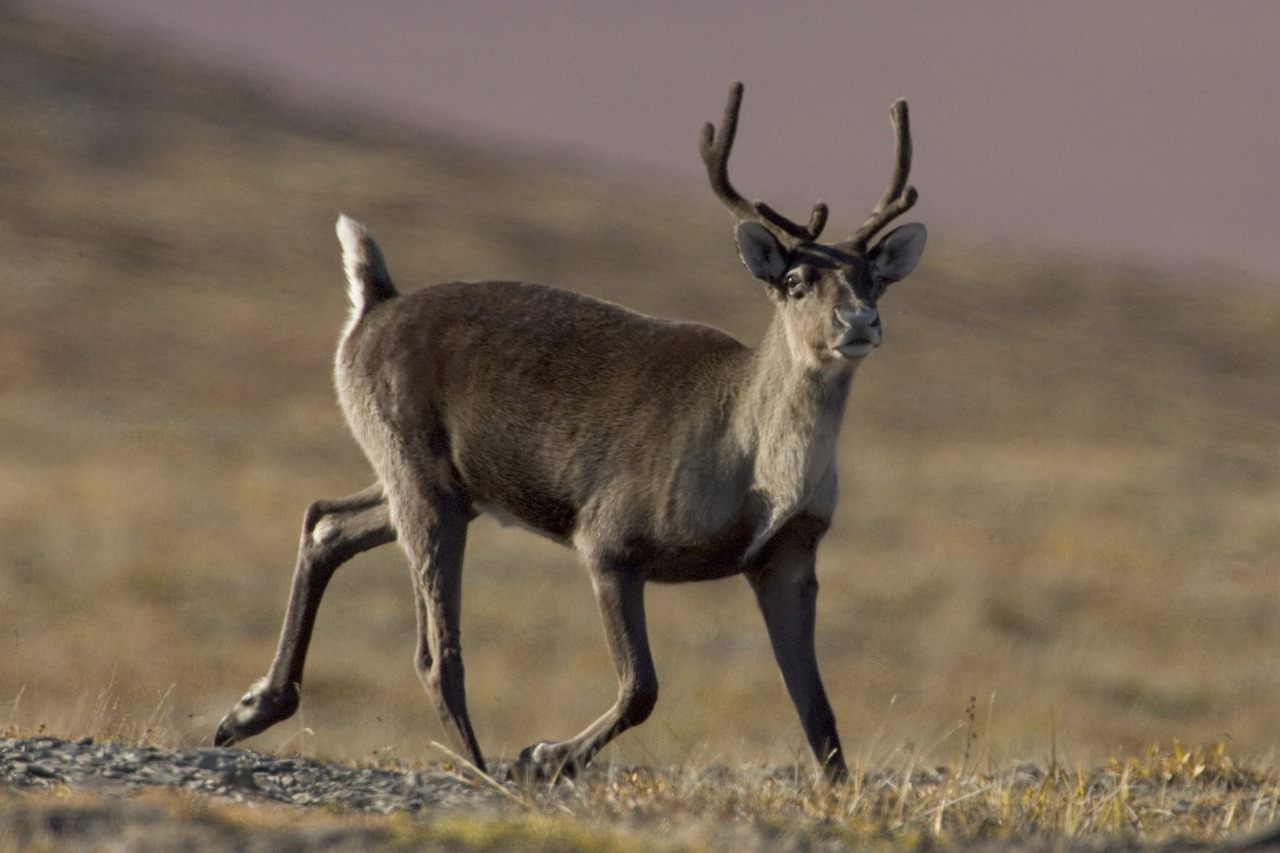 caribou-861969_1280